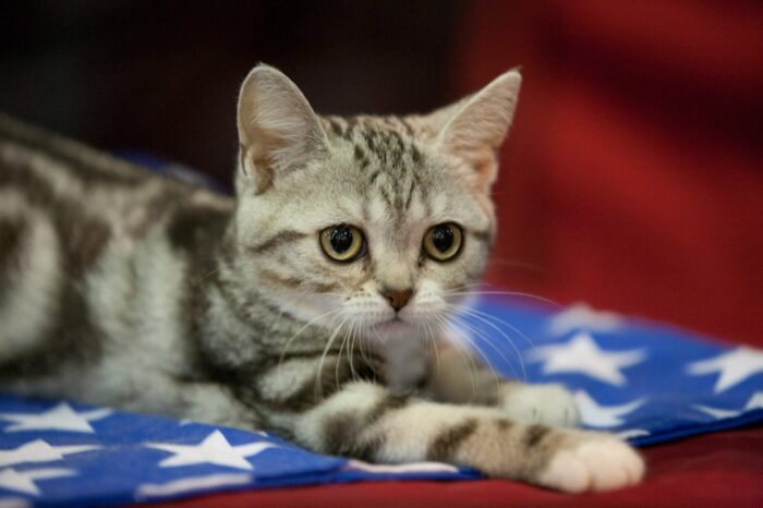 американская короткошерстная кошка отзывы владельцев