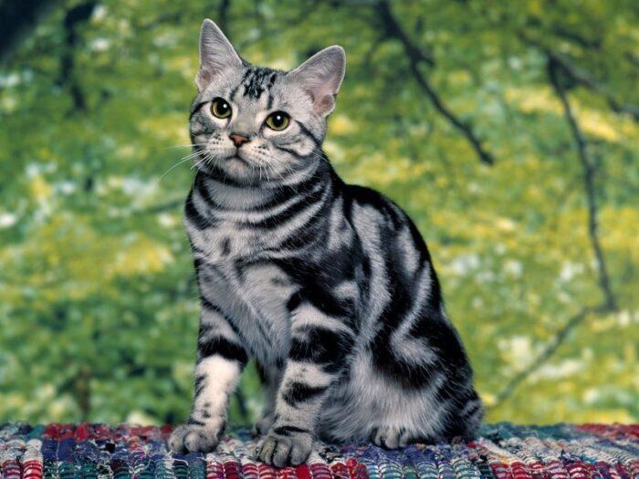 порода кошек американская короткошерстная
