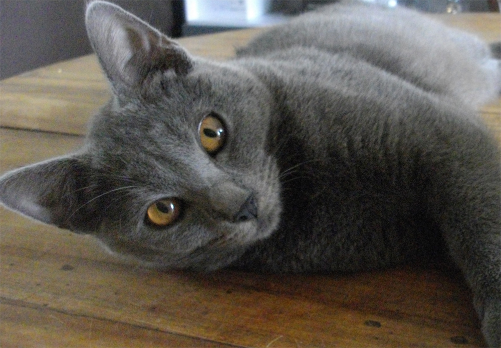 порода кошек французский шартрез