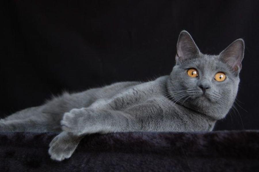 шартрез кот