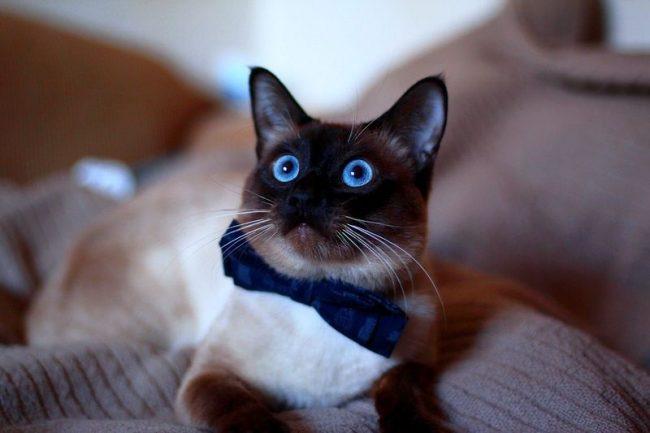 самая умная порода кошек в мире