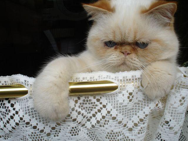 котик с плоской мордой