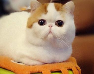 кошки с плоской мордой