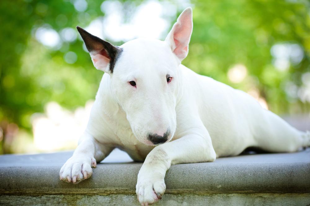 агрессивная порода собак бультерьер