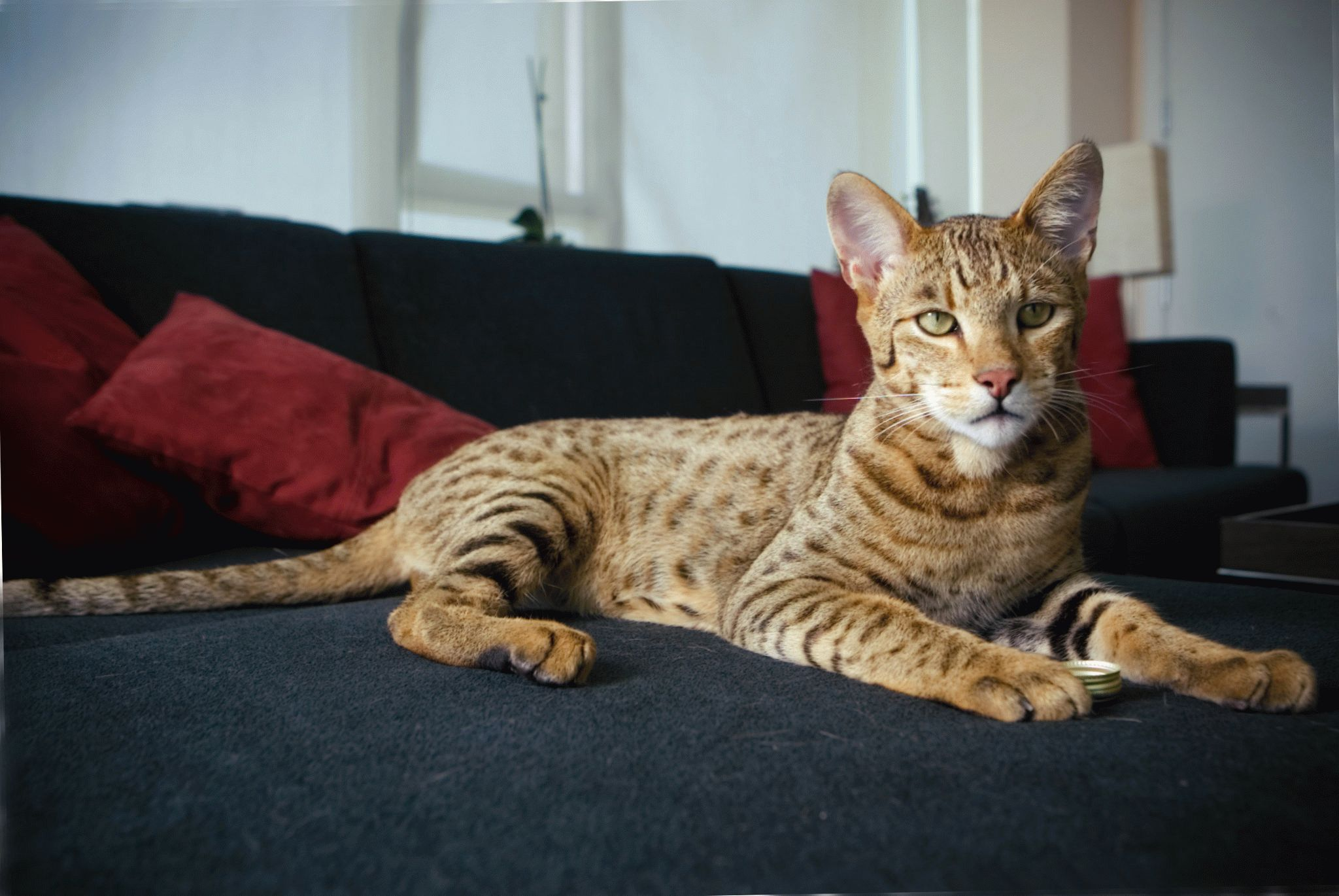было проще домашние кошки крупных пород фото врача добивались