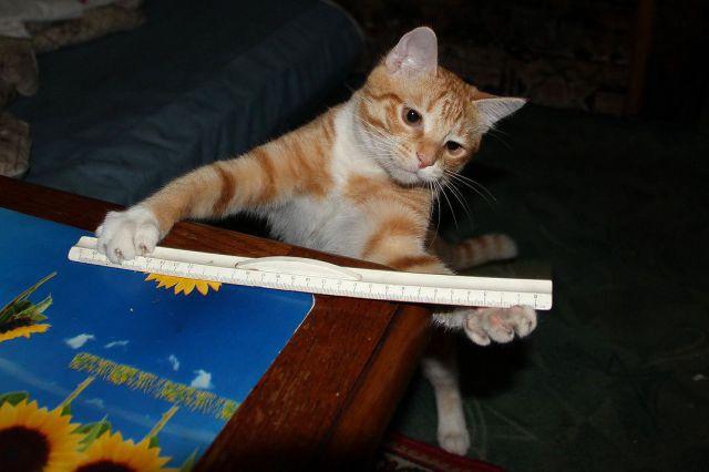 до какого возраста растут коты британцы