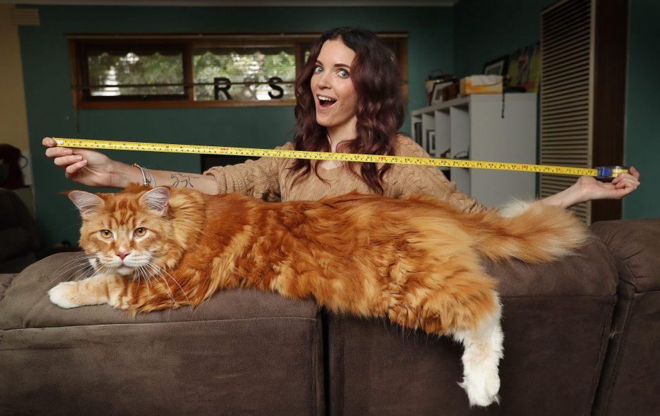 до какого возраста растут коты шотландцы прямоухие