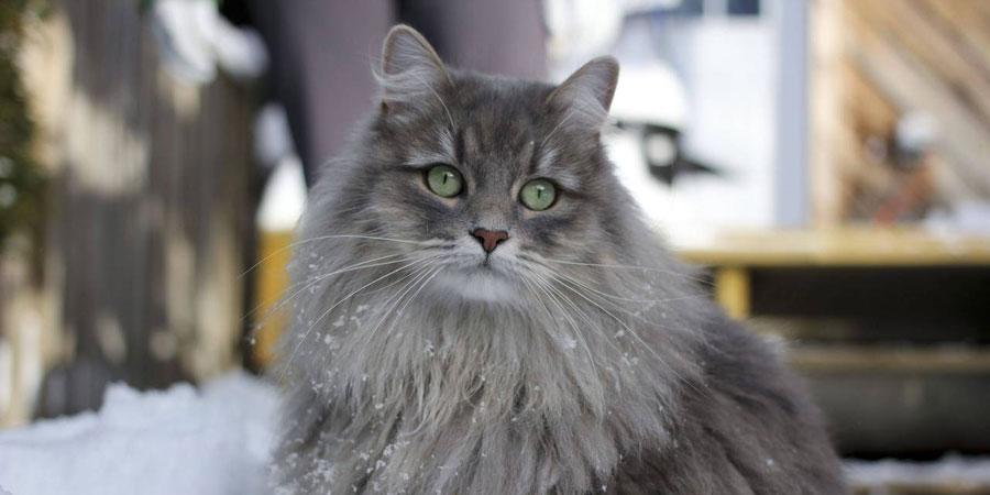 сибирская кошка очень ласковая